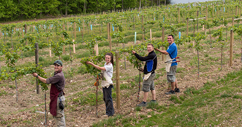 Pruning the Grapevines in the Vineyard at Magnanini Winery - Hudson Valley Winery & Vineyard